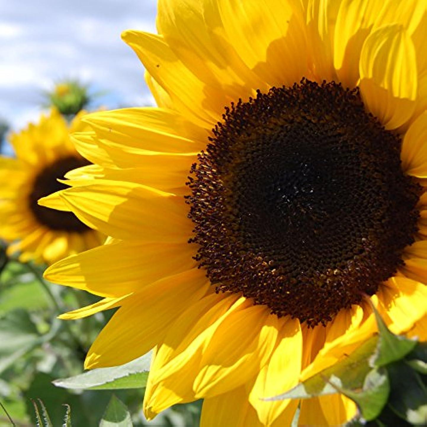 目に見える多様体好奇心盛アロマフレグランスオイル ひまわり(Sunflower)
