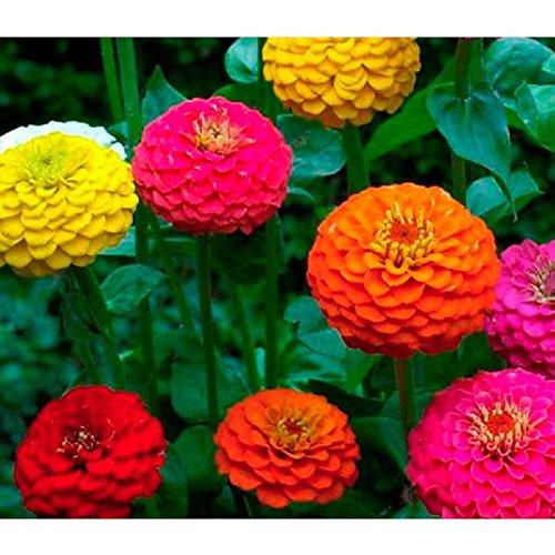 Lot de 50 Graines Zinnia élégant à fleurs doubles Giant of California Mix fleurs anuelles semence