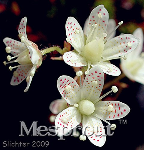 2016 Rare New 100 pcs / sac chilienne Chloris (Chloris rosea) graines, Evergreen, Durable, Mi-ombre Logement plante fleur de jardin