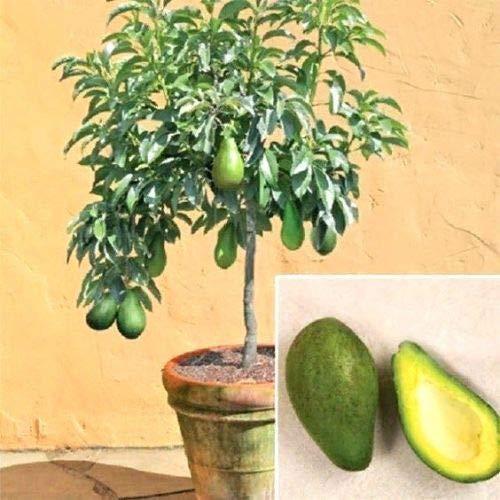 ScoutSeed 10 Stücke Seltene Avocado Samen Bonsai Baum Exotische Home Süße Obst Gartenpflanze Werkzeug