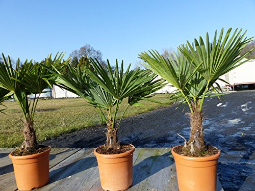 Hanfpalme 'M' Palme Trachycarpus fortunei winterhart, Premiumqualität