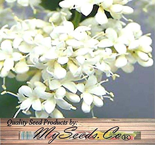 (100) Arbre japonais lilas - Graines Syringa reticulata ODORANTS BLOOMS