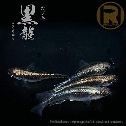 めだか処 利久庵/カブキ 黒龍〈ペア販売〉 / 生体 成魚のメダカ (ノーマル)