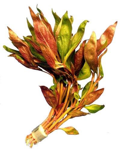 1 Bund Alternanthera lilacina, Breitblättriges Papageienblatt, Aquarium-Pflanzen