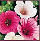 ScoutSeed Suttons Seeds Malope Strawberries & Cream Mix -