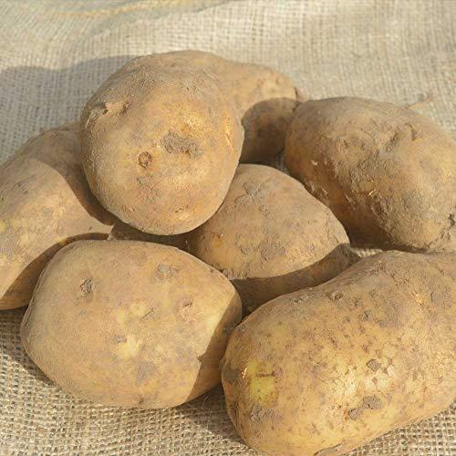 Bintje große Kartoffeln 15 kg im Kartoffelsack - Seltene Kartoffel im Jutesack zwischen mehligkochend & festkochend - Hochwertige Erdäpfel mehlig kochend - Feste Speisekartoffeln
