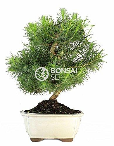 Bonsai - Pino de alepo/ Pim carrasco, 7 Años (Bonsai Sei - Pinus Halepensis)