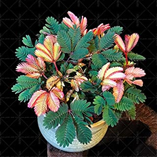 WANCHEN 20pcs Mimosa Bonsai Plants Perennail Indoor Flowering Potted Plant Rare Mimosa Pudica Flower for Home Garden Shy Grass Plants