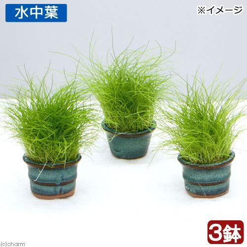 (水草)豆鉢入り ヘアーグラス ショート(水中葉)(無農薬)(3鉢) 北海道航空便要保温