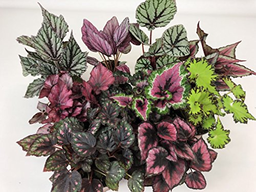 """Rex Begonia Variety Pack (4 Plants) (4"""" Pots) """"Growers-Choice"""""""