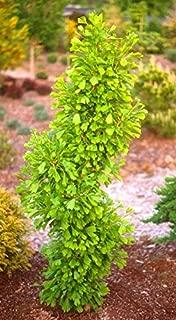 Pyramidal Ginkgo Tree- Ginkgo biloba 'Saratoga' - 1 - Year Live Plant