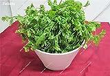 Rare Semilla de coriandro fresco Cilantro Herb Parsley Bonsai Seed maceta de plantación no-GMO Semilla vegetal verde 200 PC