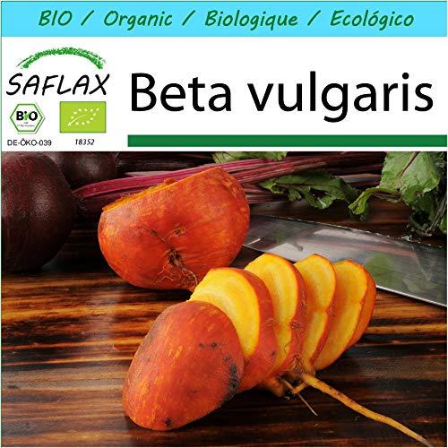 SAFLAX - Kit cadeau - BIO - Betterave - Jaune - 50 graines - Avec boîte cadeau/d'expédition, autocollant d'expédition, carte cadeau et substrat de culture - Beta vulgaris