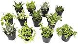 Altman Plants Assorted Live Succulents Desk Buddy Collection Easy care plants for Indoor, Office, Kitchen, 2.5', 12 Pack