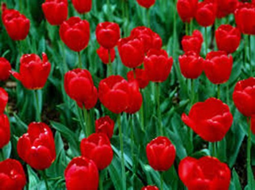 Tulip Bulb 20 Pack, RED Impression, Pure Bright RED Perennial Tulip Bulbs, RED Flowers