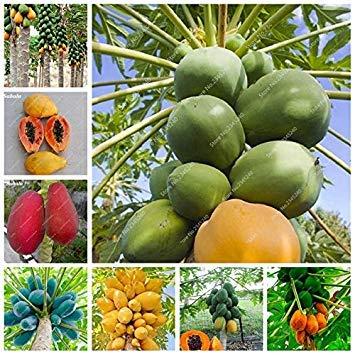 japanische Papaya-Baum Bio Carica Papaya für Garten, Gemüse, Obst Pflanzen 50 PC/Bag Outdoor Tropic Frucht: 10 Stück