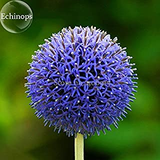 echinops for sale