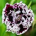 Outsidepride Dianthus - Heddewigii