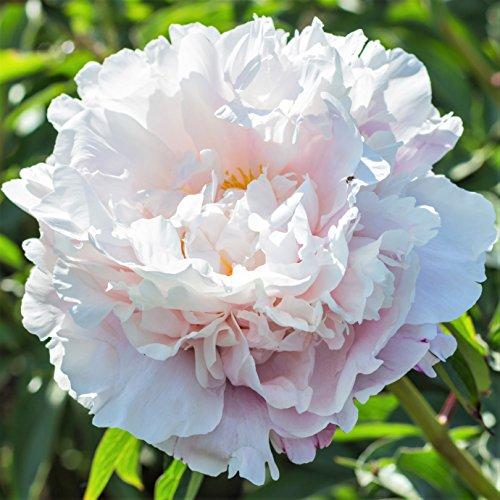 Peony Gardenia - 1 Healthy 3/5 Eye Peony Root Plant - Fragrant!   Ships from Easy to Grow TM