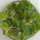 *Froschbiss / Limnobium laevigatum - Aquariumpflanzen - Schwimmpflanze (1 Pflanze)