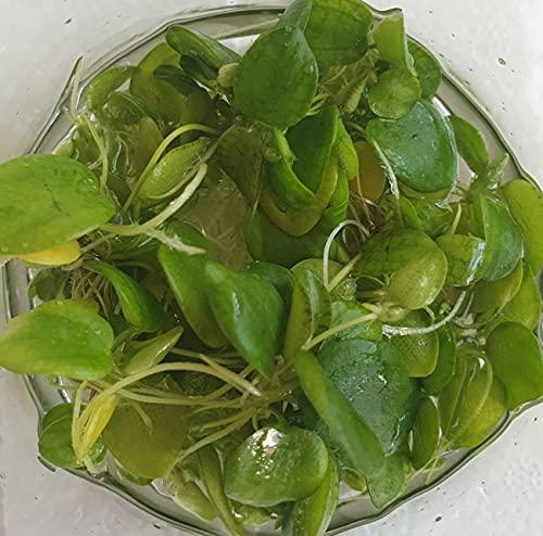 Froschbiss / Limnobium laevigatum - Aquariumpflanzen - Wasserpflanzen - Schwimmpflanzen (3 Stück)