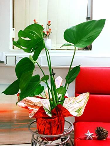 Easy Plants - Planta de Queso Suizo en Maceta con Envoltorio de celofán para Regalo, 45 x 55 cm