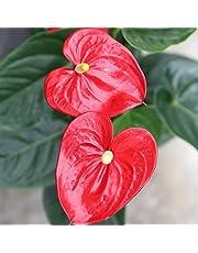 Anthurium - Maceta 14cm. - Altura aprox.55cm. - Planta de interior - Planta viva - (Envío sólo a Península)