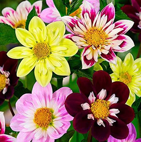Tomasa Samenhaus- 50 Stücke Seltene Dahlie Samen Blumensamen Riesen Dahlie Saatgut winterhart mehrjährig Blumen bienenfreundliche Blumensamen für Balkon/Garten/Steingärten