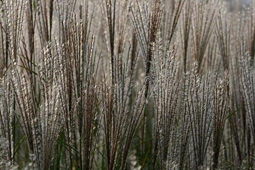 250 graines fraîches - Graines Plume graminée