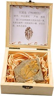 Trilobite in Box Teaching Specimen Collection Science
