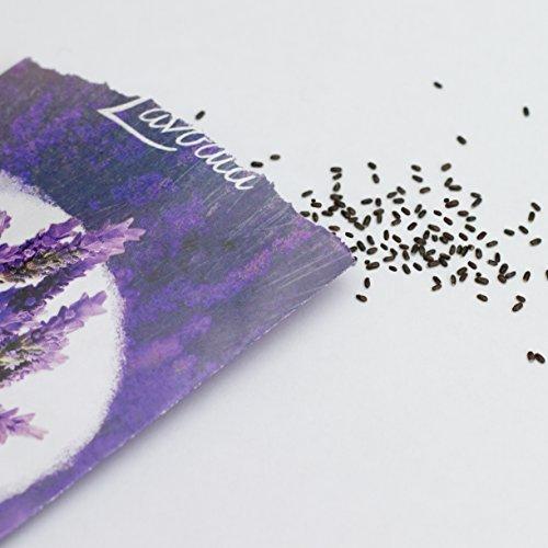LAVODIA Lavendel Samen mehrjährig winterhart Premium Saatgut für ca. 100 Lavendel Pflanzen (250 Lavendelsamen) - 4