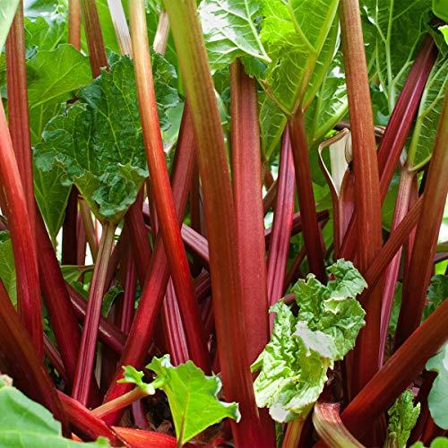 Sharpy 100 Pcs Rhabarber-Samen - mehrjährige Gemüsegarten-Samen