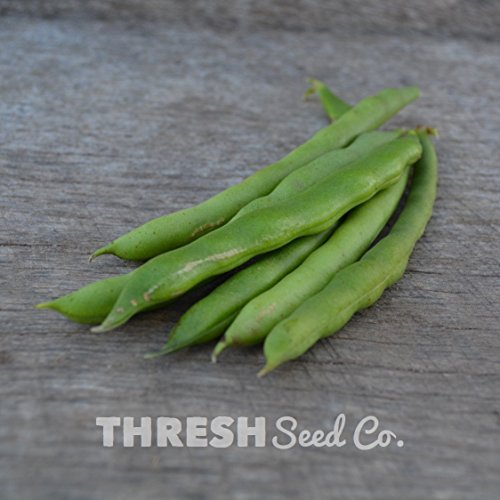 blue lake pole beans - 6