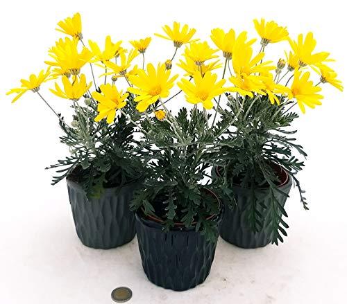 Euryops - Trío de margarita amarilla, 3 plantas, en maceta de cerámica...