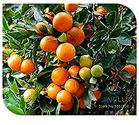 SEEDS PLAT会社-カラマンシーの種、ミニチュア柑橘類、50種、ピリッと果物、オレンジの種、派手な観葉植物、素晴らしい盆栽、果物の種