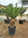 Cycas revoluta Cicas palma in vaso ø9 cm