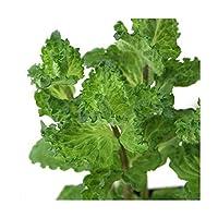 (観葉植物)ハーブ苗 ミント カーリーミント 3号(1ポット) 家庭菜園