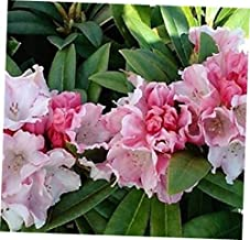 GIA Starter Plug Live Plant - Mardi Gras Rhododendron - RK148