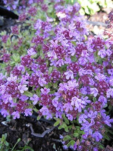 Thymus serpyllum Coccineus - Teppich-Thymian - Feld-Thymian - Preis nach Stückzahl Einzelpreis