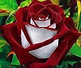 Ornamentales Semillas,Balcón Flores en macetas Rosas Semillas-Magician_20,Semillas de Plantas Verdes