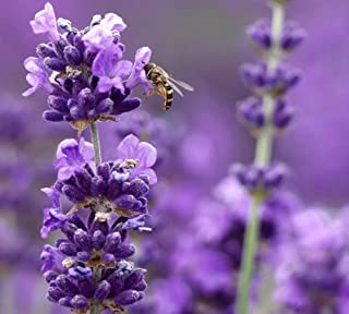 Findlavender - Lavender MUNSTEAD (Dark Purple Flowers) - 4