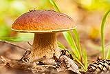 Fungi Forest de Mycelium, cultiva tus propios champiñones, Boletus Reticulatus