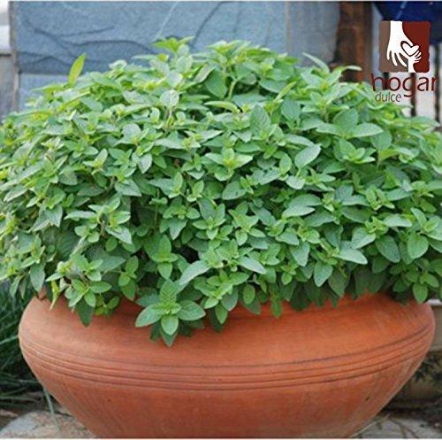 2016 Offre Spéciale Hot Sale Plantes d'intérieur régulier Graines Bonsai 100 Pcs Seeds Menthe Mentha spicata Mint Pour Pennyroyal Herb