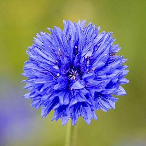 HTHJA Blumensamen für Bienen,Blühende Chrysanthemensamen für die Außendekoration im Innenhof 500g Blau,Samen für Ihr Garten Balkon
