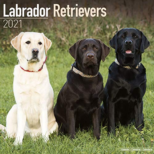 Labrador Calendar - Dog Breed Calendars - Chocolate Lab Calendar - Black Lab Calendar - Yellow Lab Calendar - 2020 - 2021 wall calendars by Avonside