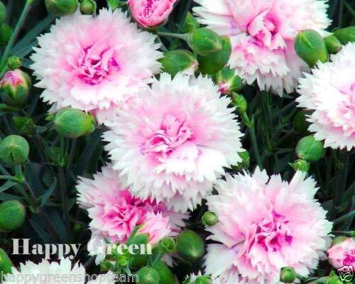 SONATA DOUBLE MIX - 200 SEEDS - Dianthus plumarius - PERENNIAL FLOWER