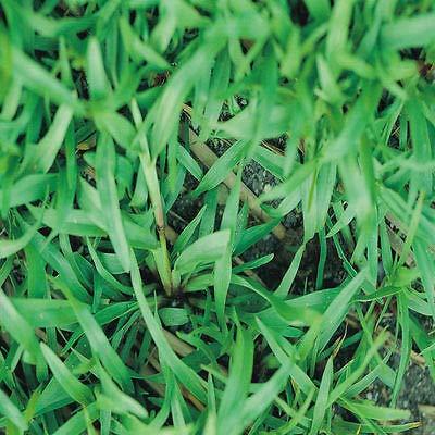 Carpetgrass Seeds Coated 2 Lbs (Carpet Grass Seed)