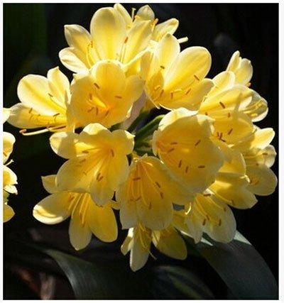 graines rares Clivia extérieur vivaces Bonsai Balcon fleurs en pot pour plantes ornementales Jardin Décor Facile à cultiver 100 pcs/sac 12