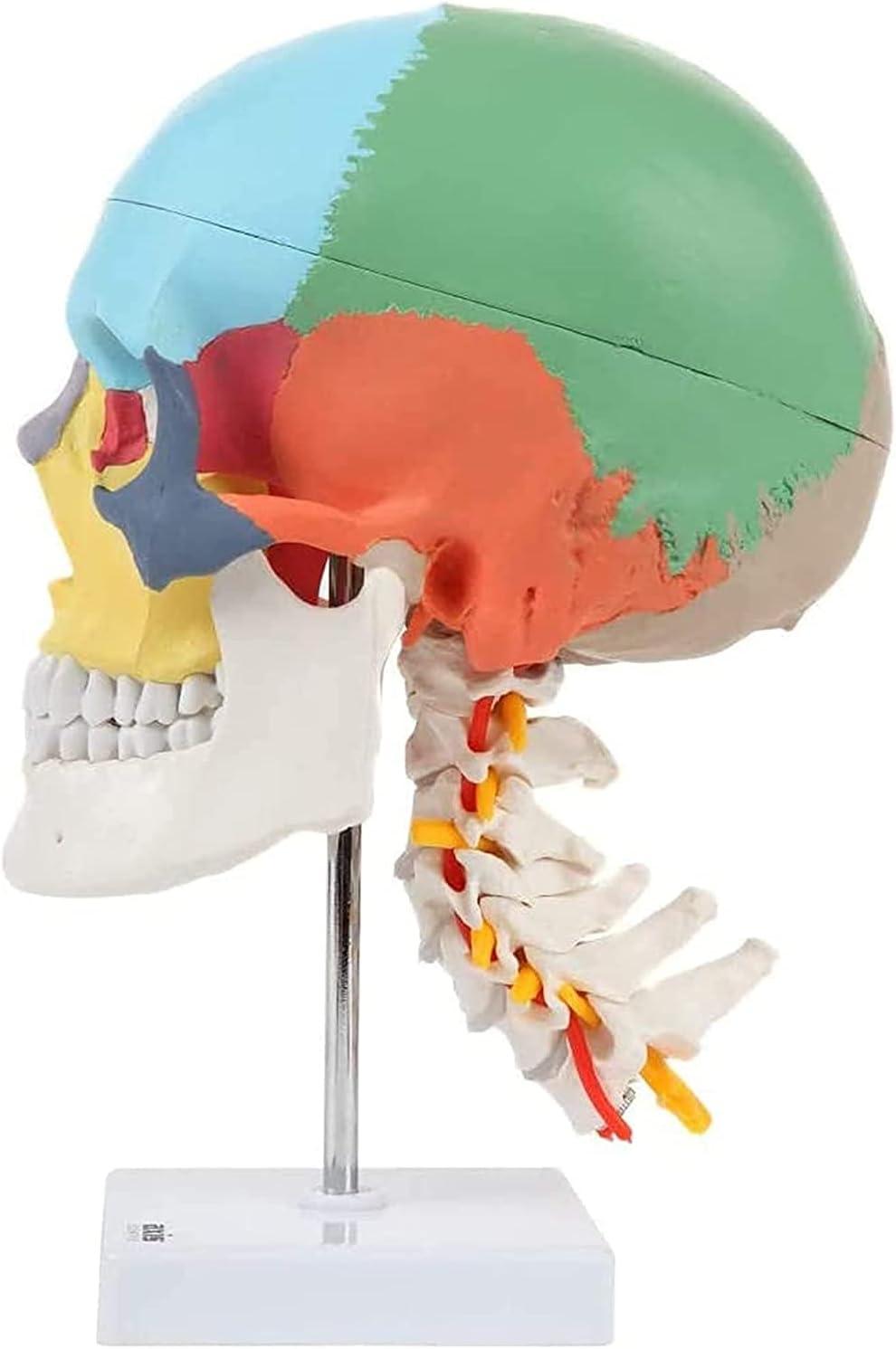Anatomy Human Torso Body Model Li Trust Skull Colored Head Store