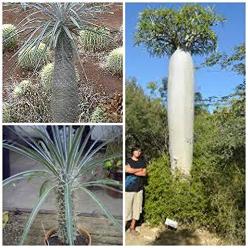 ScoutSeed 10 semillas de pachypodium geayi, semillas de suculentas C